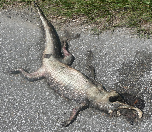 Gators are common road kill sights in this part of Louisana.